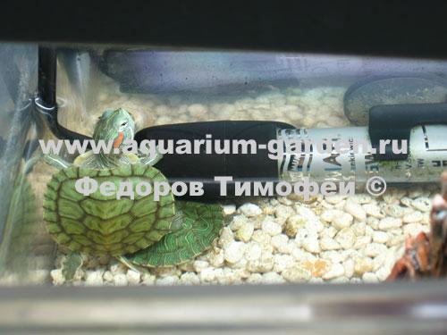 Черепаха красноухая водная морская